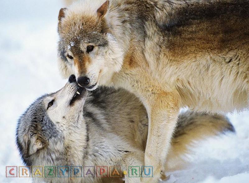 13 животных, образующих пару на всю жизнь. Моногамные пары зверей.