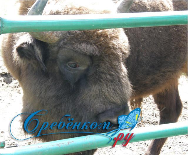 Приокско-террасный заповедник: Зубр