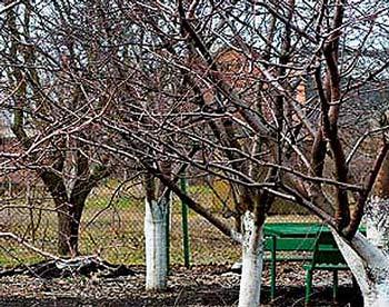 Побеленные деревья белят